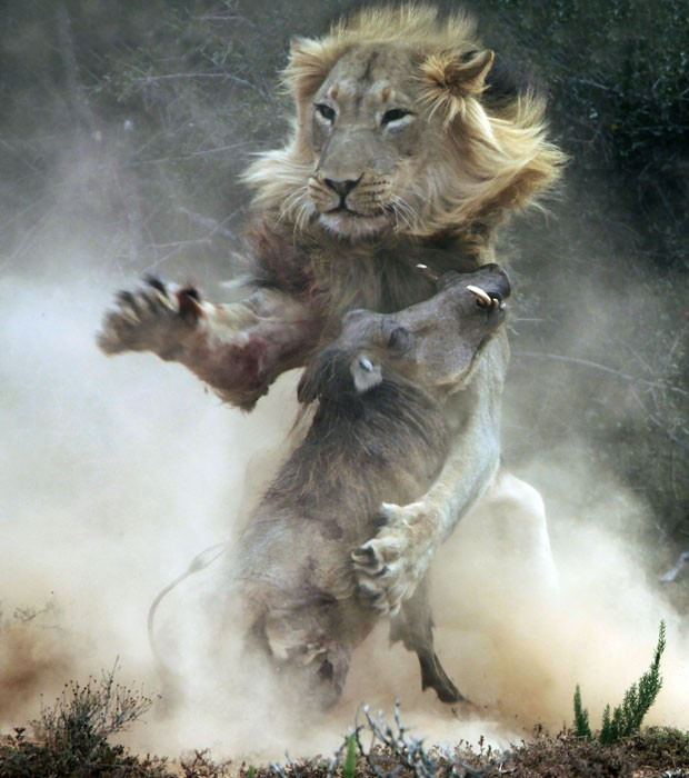 Leão e Javali